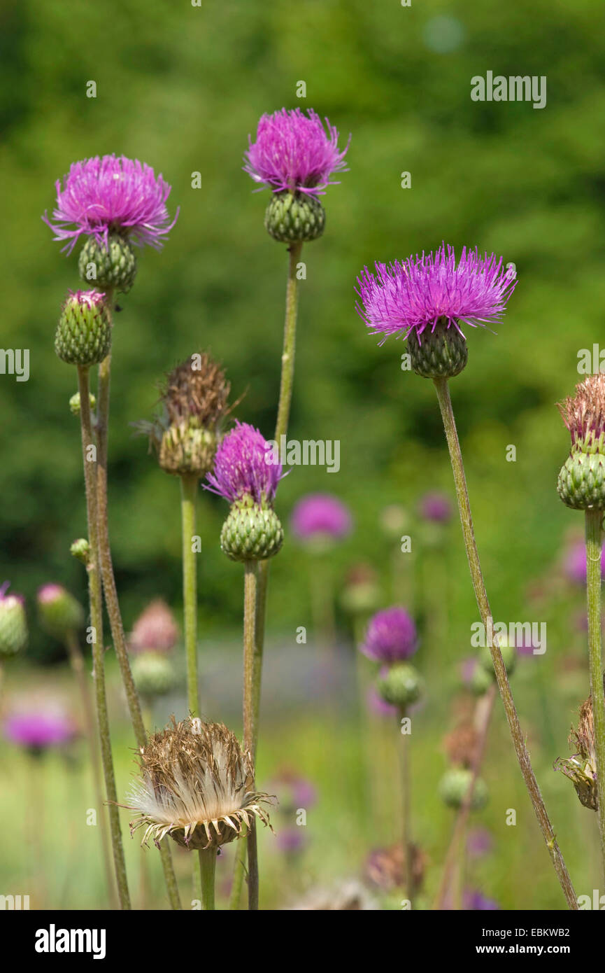Queen Anne's thistle (Cirsium canum), blooming, Germany - Stock Image