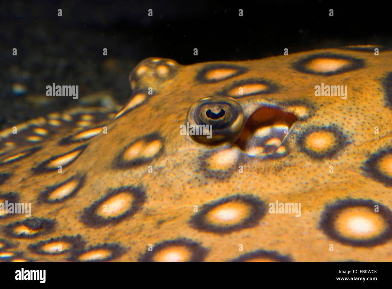Motoro Stingray (Potamotrygon motoro), eyes - Stock Image