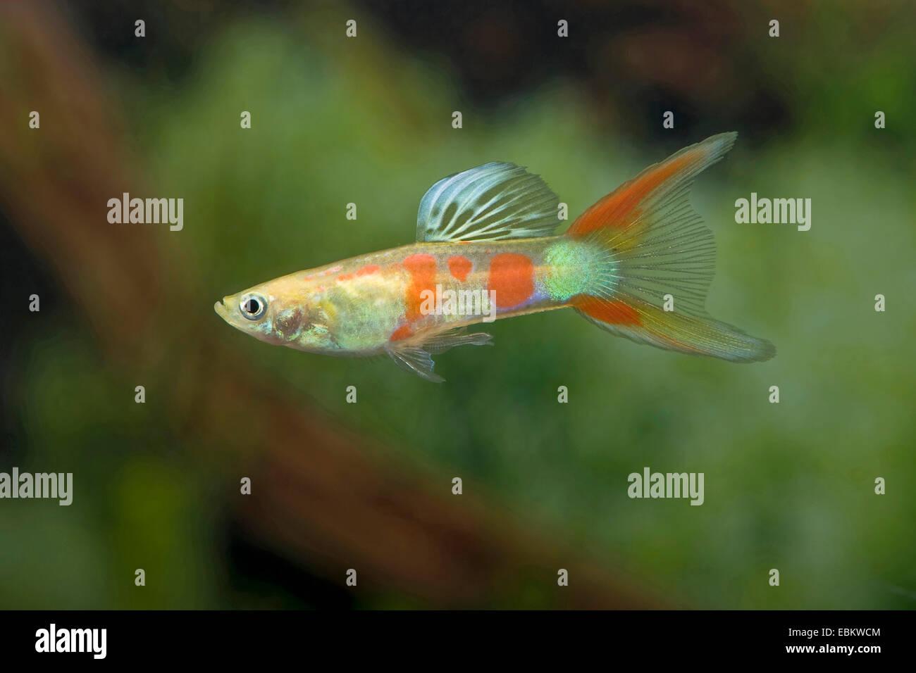 guppy (Poecilia reticulata, Lebistes reticulatus, Lebistes reticulata), breed form Rainbow Lyretail - Stock Image
