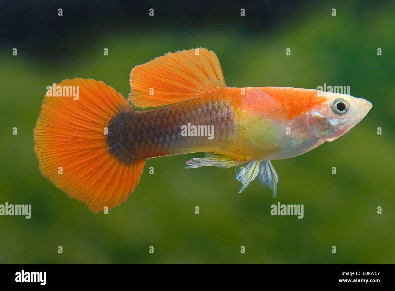guppy (Poecilia reticulata, Lebistes reticulatus, Lebistes reticulata), breed form Tuxedo Blonde Red - Stock Image