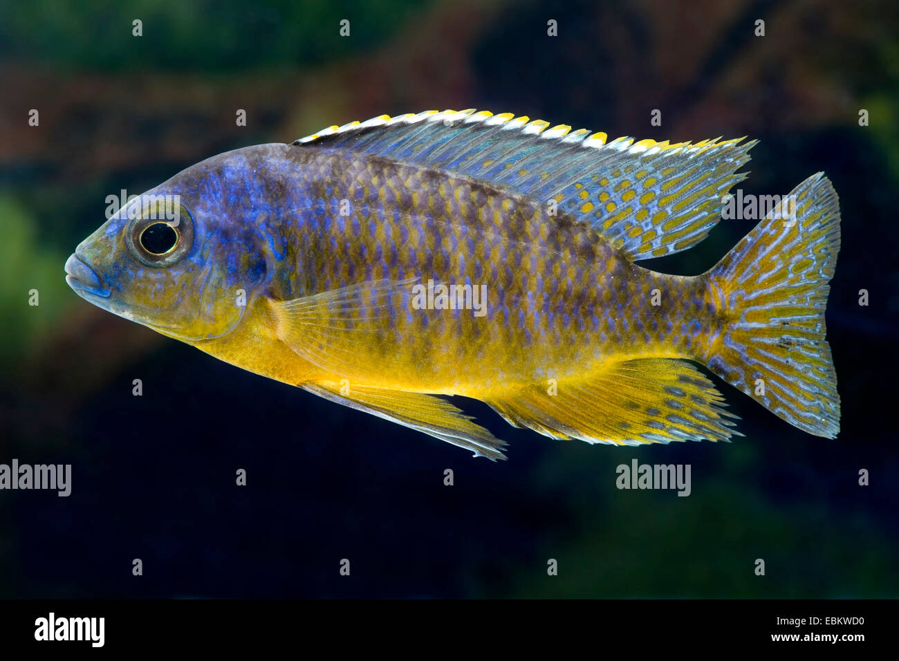 Malawi Cichlid (Protomelas virgatus), full length portrait - Stock Image