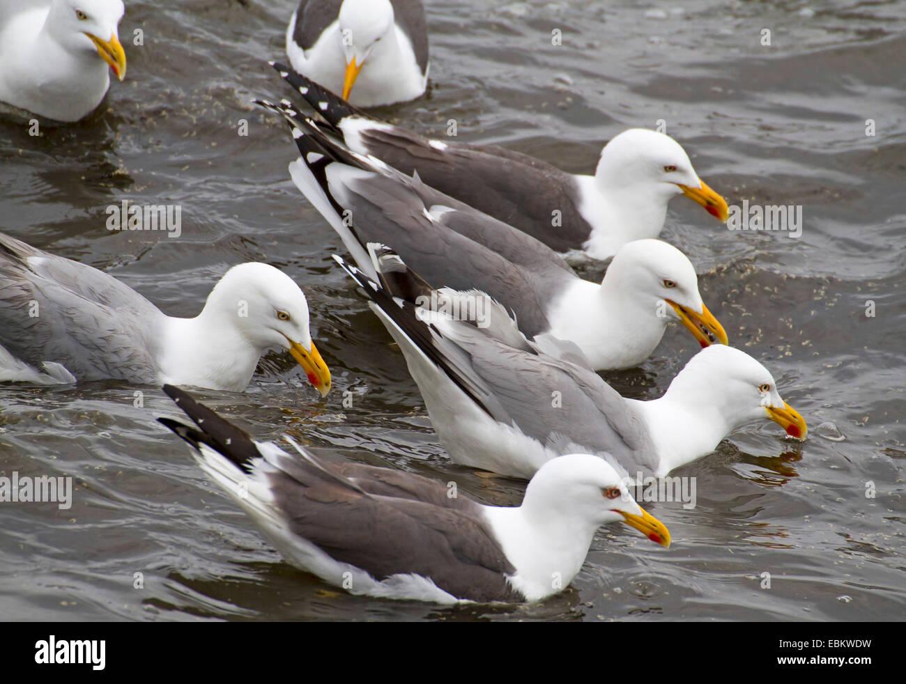 herring gull (Larus argentatus), herring gulls and lesser black-backed gulls swimming together, Europe, Germany, - Stock Image