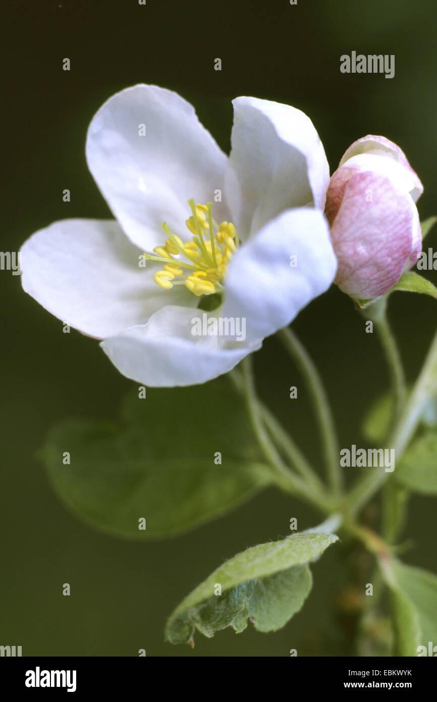 apple tree (Malus 'Professor Sprenger', Malus Professor Sprenger), blooming branch - Stock Image