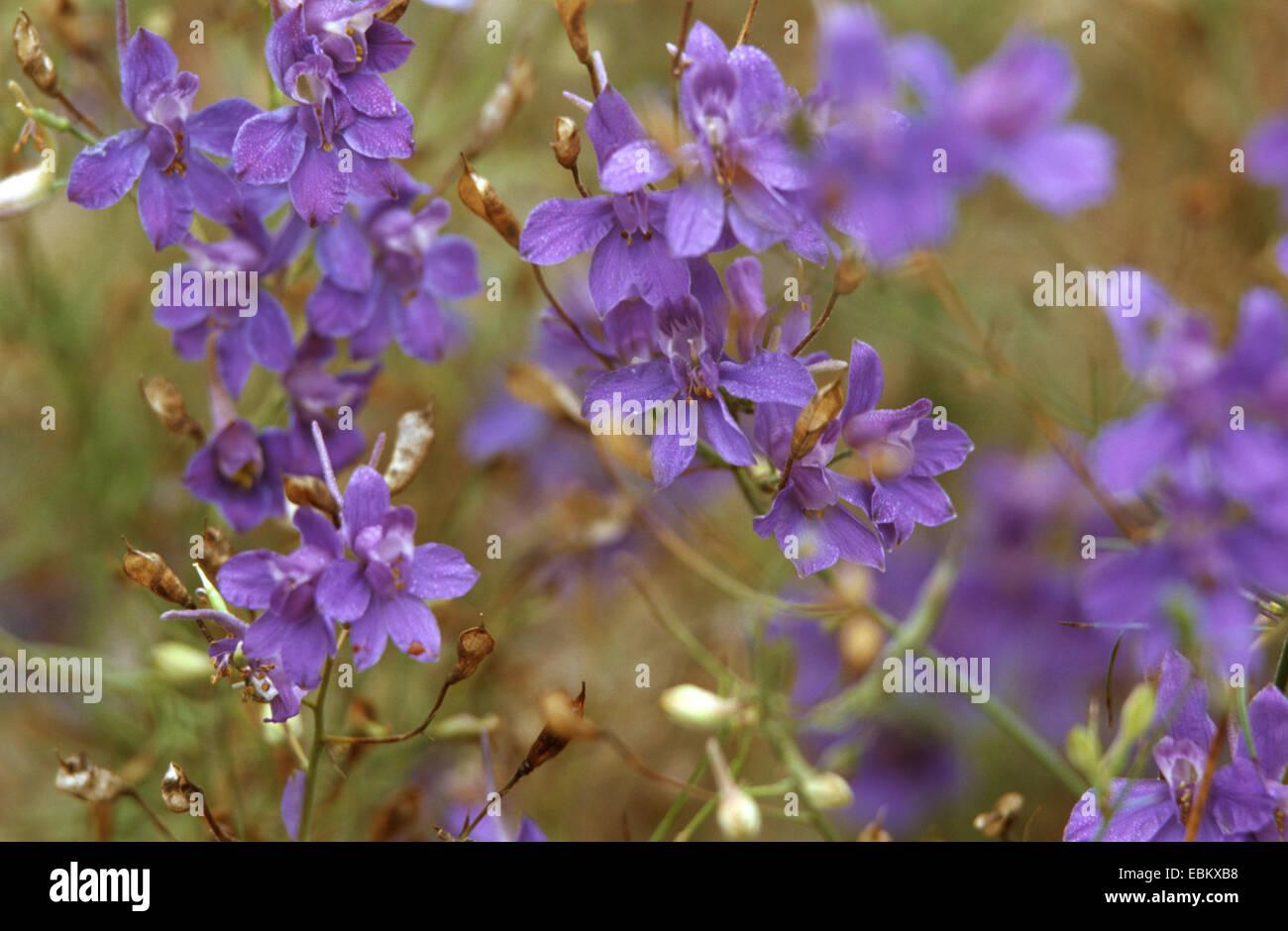 forking larkspur, field larkspur (Consolida regalis, Delphinium consolida), blooming - Stock Image