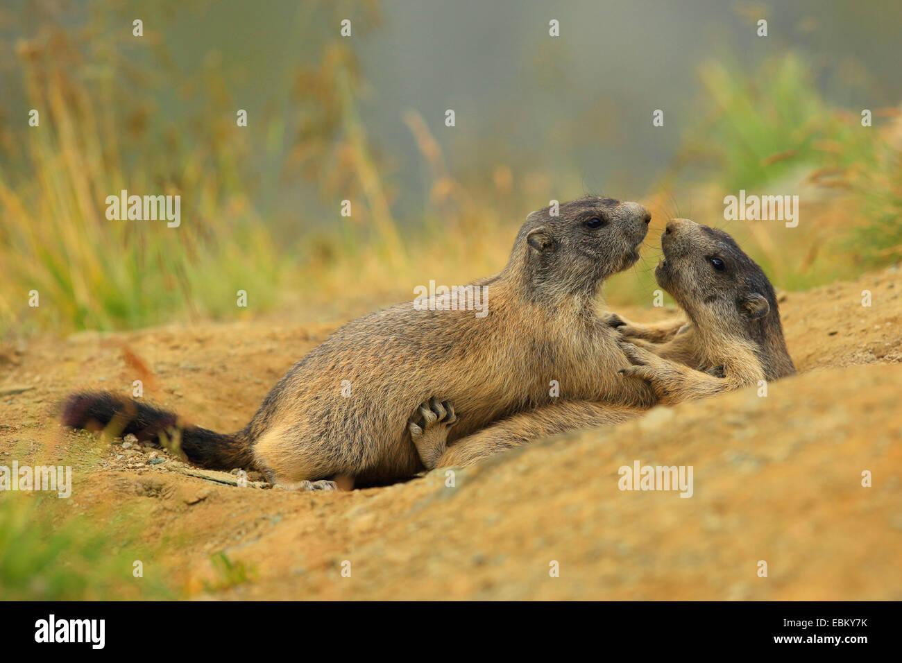 alpine marmot (Marmota marmota), playing young animals , Austria, Hohe Tauern National Park Stock Photo