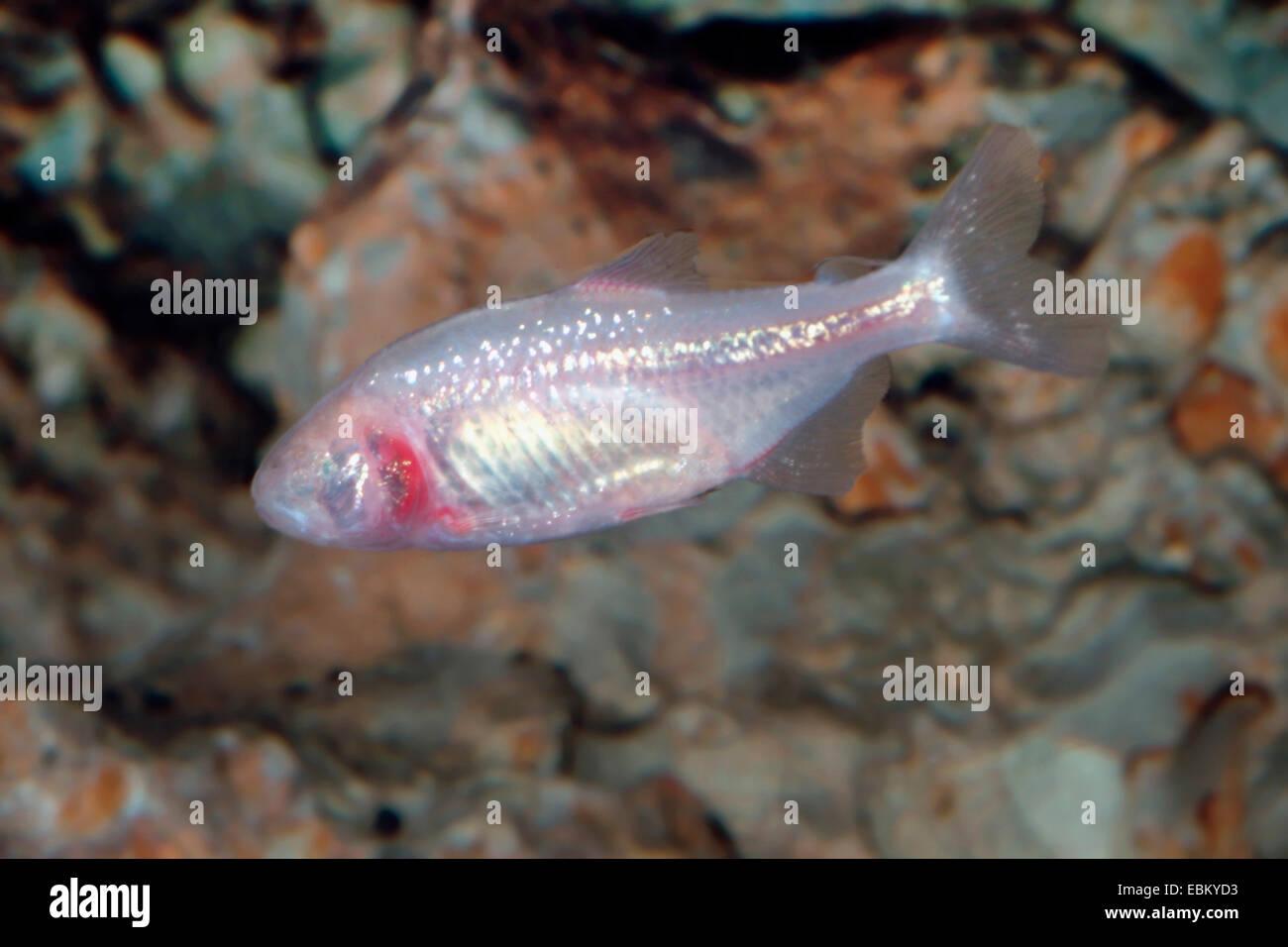 Blind cave tetra, Blind cavefish (Astyanax jordani), swimming - Stock Image