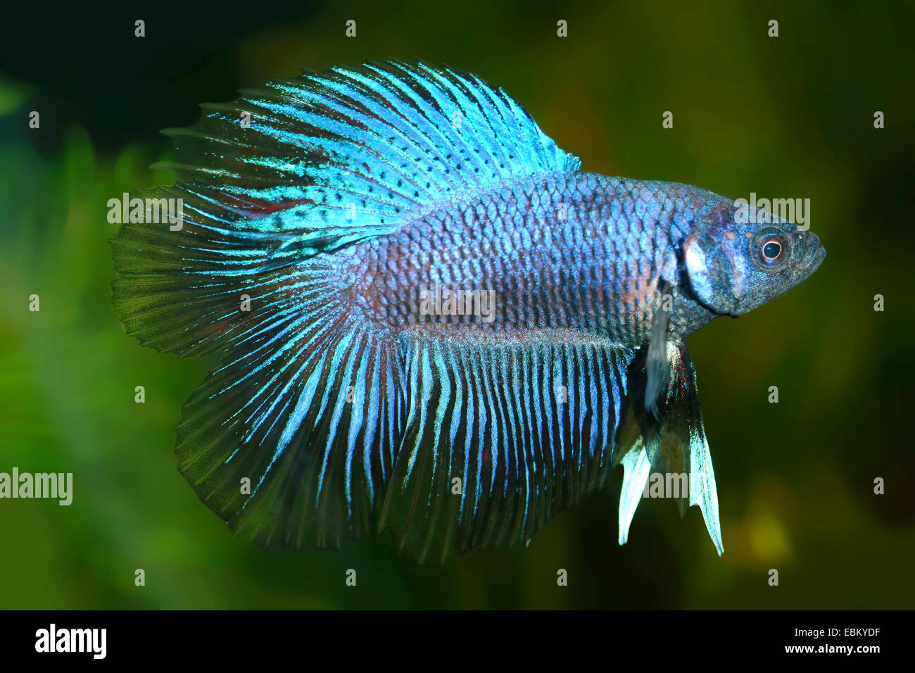 Siamese fighting fish, Siamese fighter (Betta splendens), breed Erfurter Blau - Stock Image