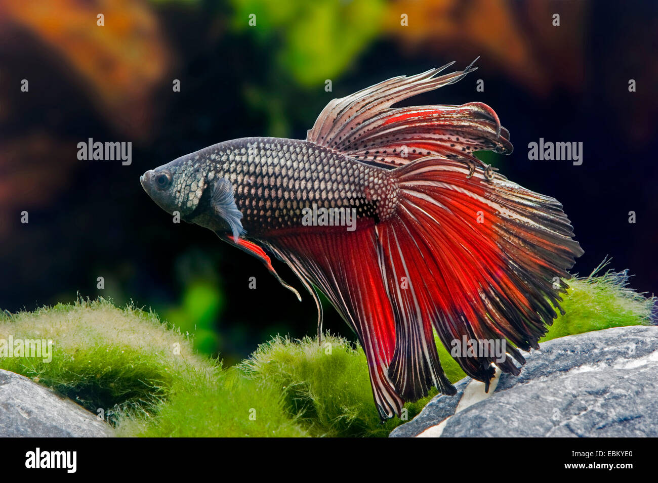 Betta Male Stock Photos & Betta Male Stock Images - Alamy