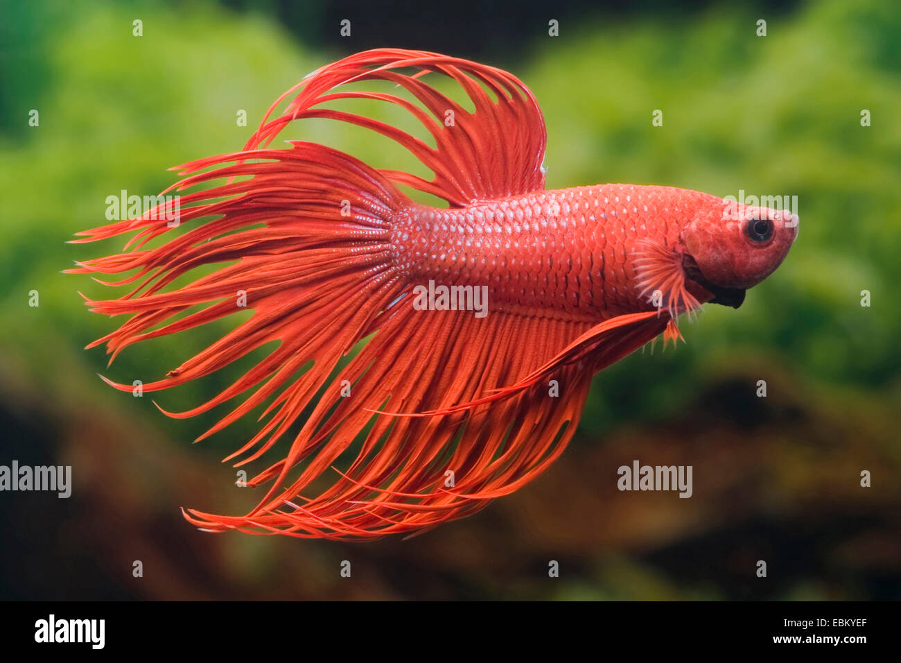 Siamese fighting fish, Siamese fighter (Betta splendens), breed Crown Tail Rot - Stock Image