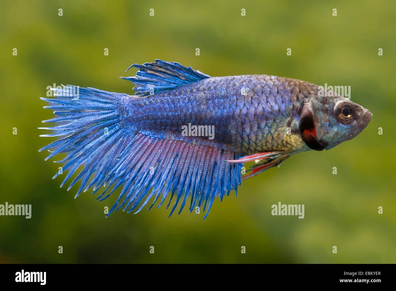 Blue Siamese Fighting Fish Betta Stock Photos & Blue Siamese ...