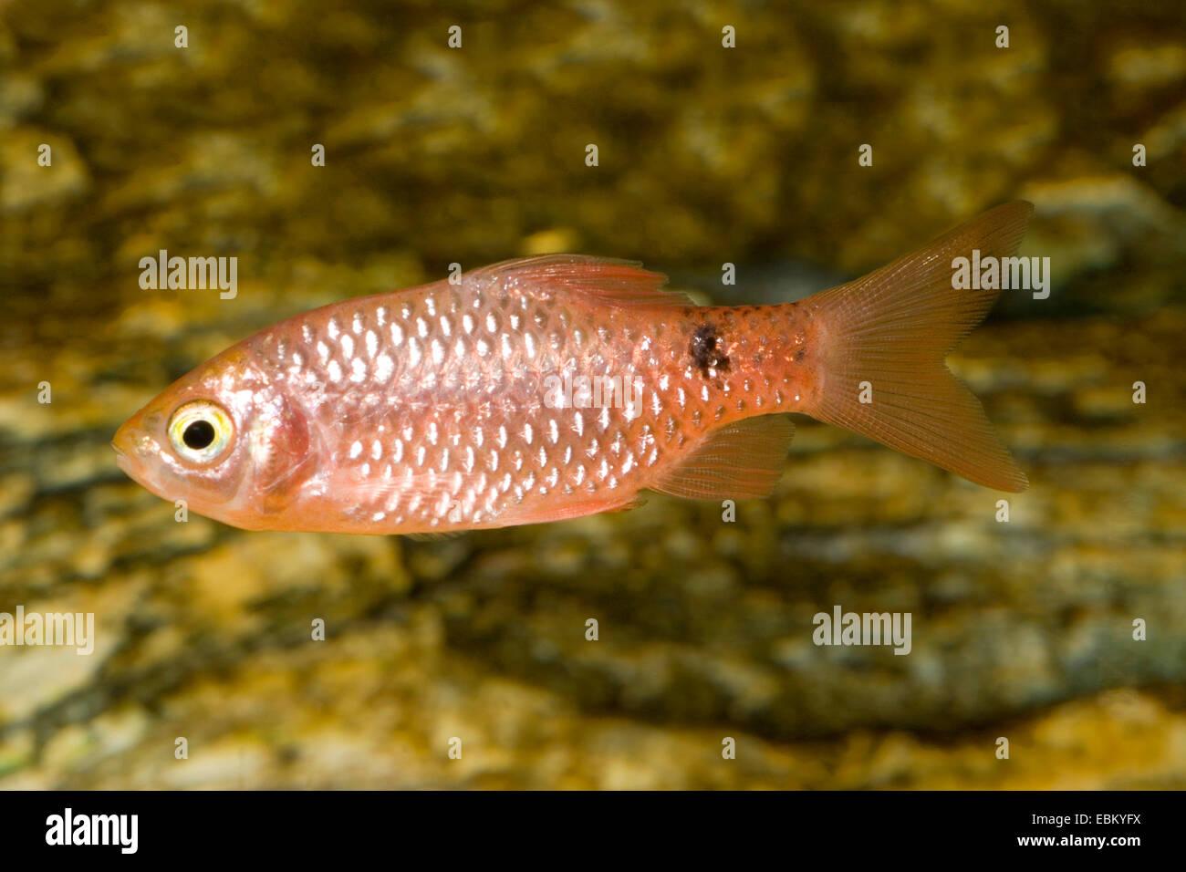 Rosy barb (Barbus conchonius, Puntius conchonius), swimming - Stock Image