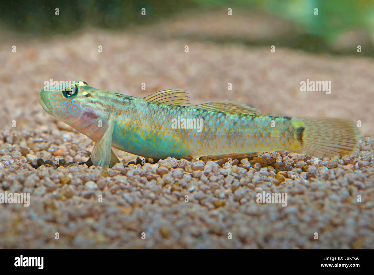 Goby (Rhinogobius nagoyae), on the ground - Stock Image