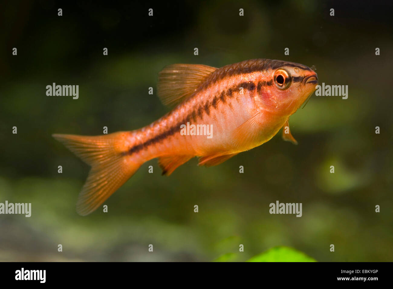 Cherry barb (Barbus titteya, Puntius titteya), swimming - Stock Image