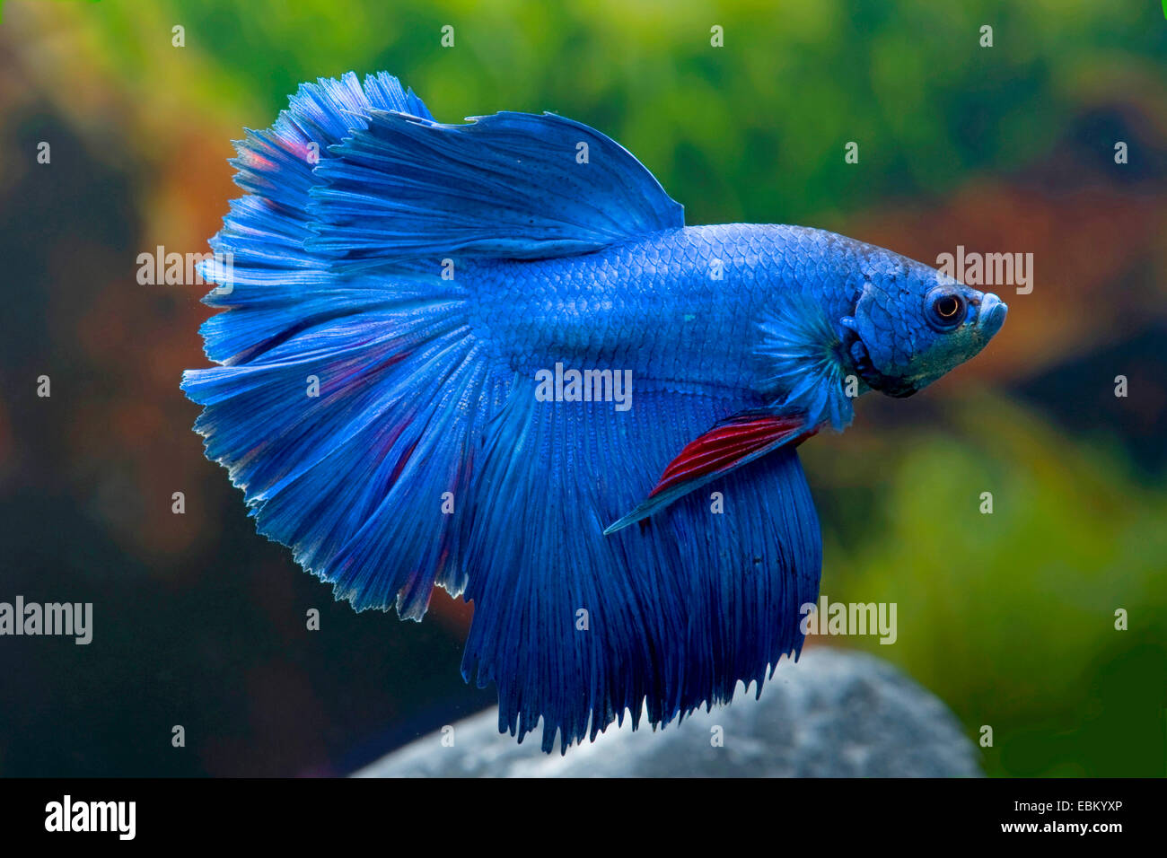 Siamese fighting fish, Siamese fighter (Betta splendens), breed Halfmoon blue - Stock Image