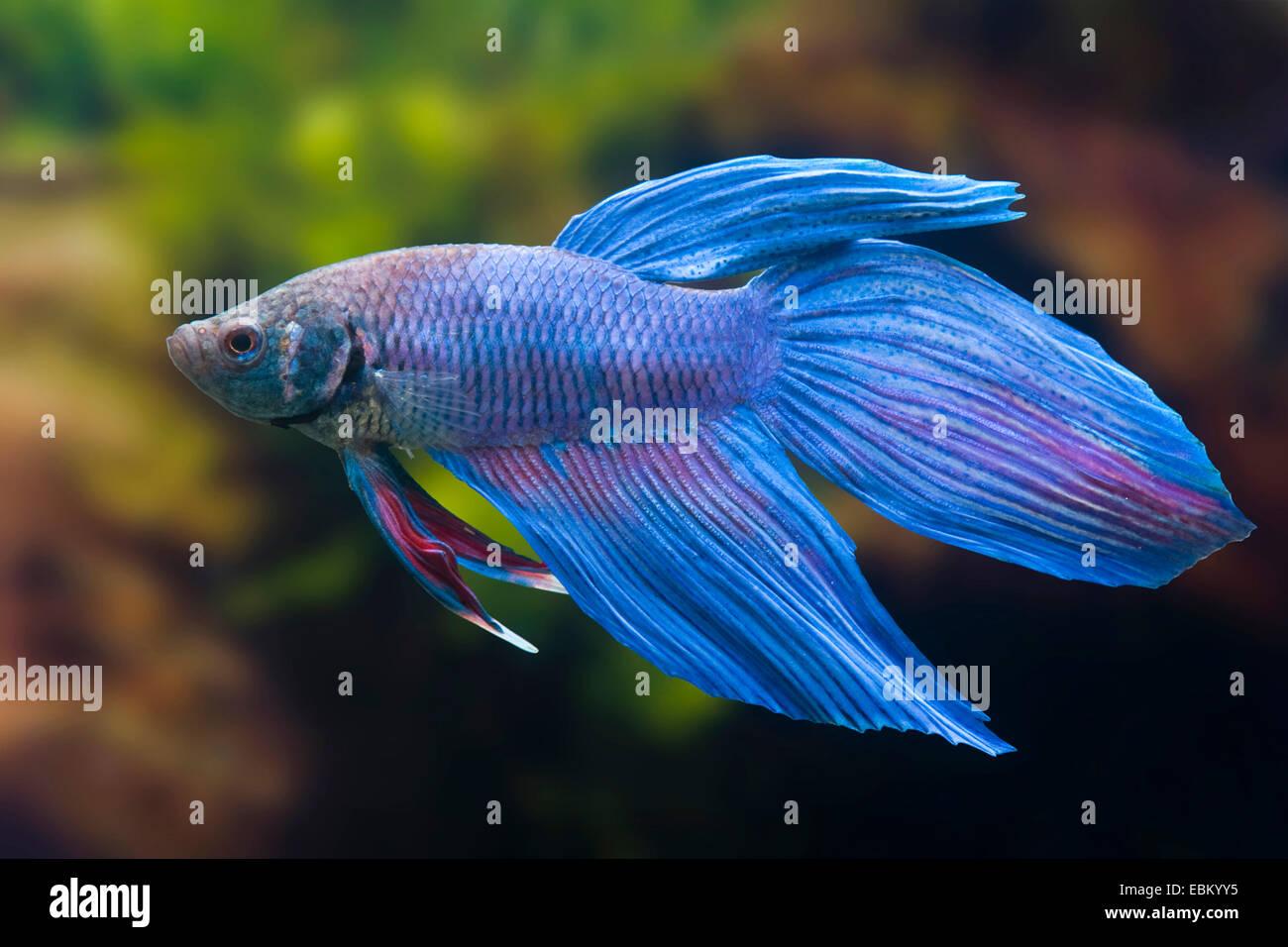 Siamese fighting fish, Siamese fighter (Betta splendens), breed Lontail blue Stock Photo