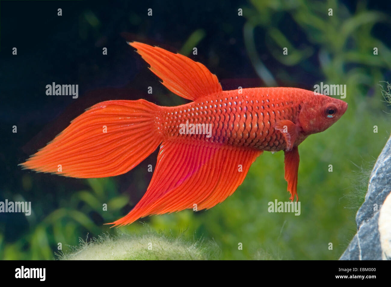 Siamese fighting fish, Siamese fighter (Betta splendens), female of the breed Longtail red - Stock Image