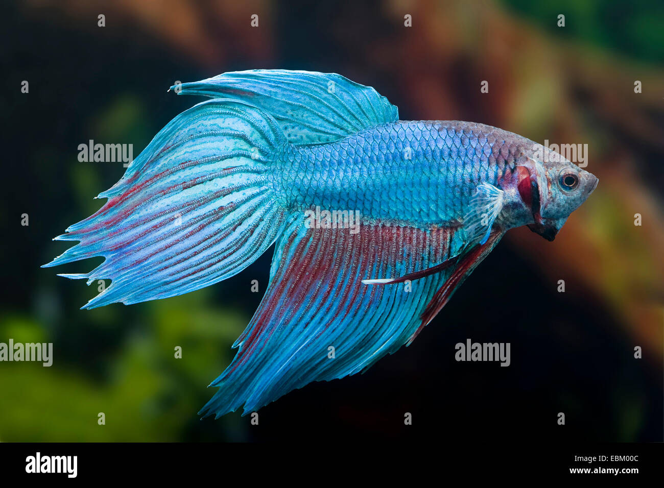 Siamese fighting fish, Siamese fighter (Betta splendens), breed Longtail turquoise - Stock Image
