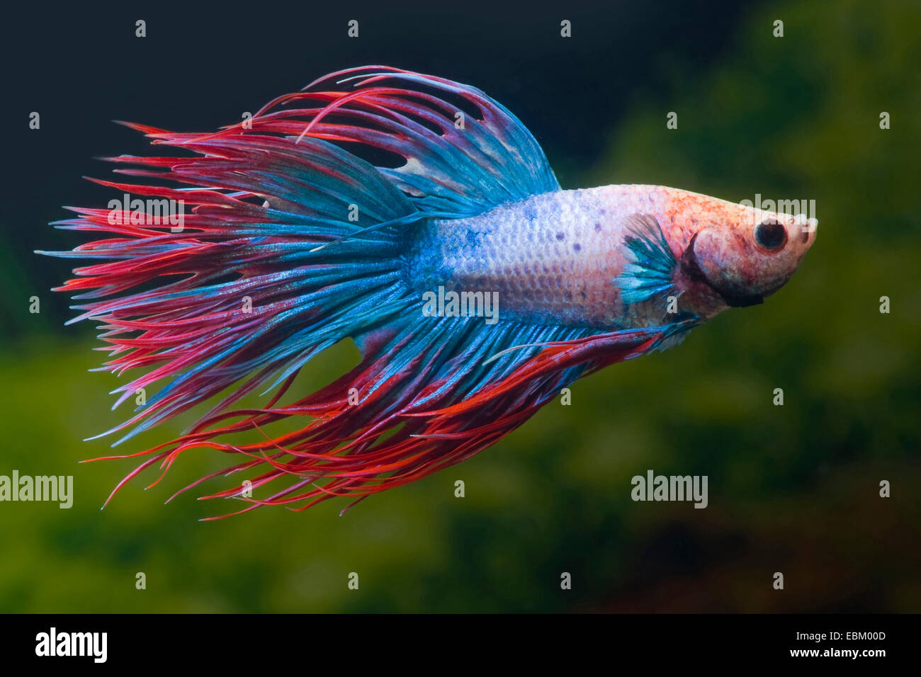 Siamese fighting fish, Siamese fighter (Betta splendens), breed Crown Tail Multicolor - Stock Image