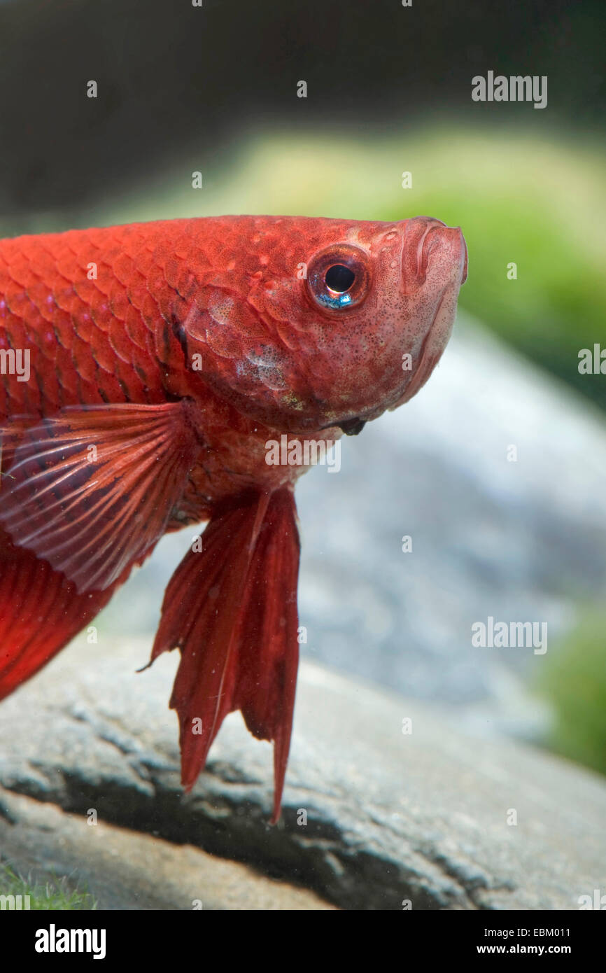 Labyrinth Fish Stock Photos & Labyrinth Fish Stock Images - Alamy