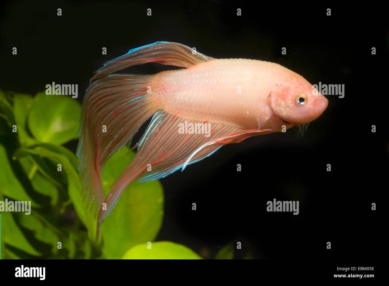 Siamese fighting fish, Siamese fighter (Betta splendens), breed - Stock Image