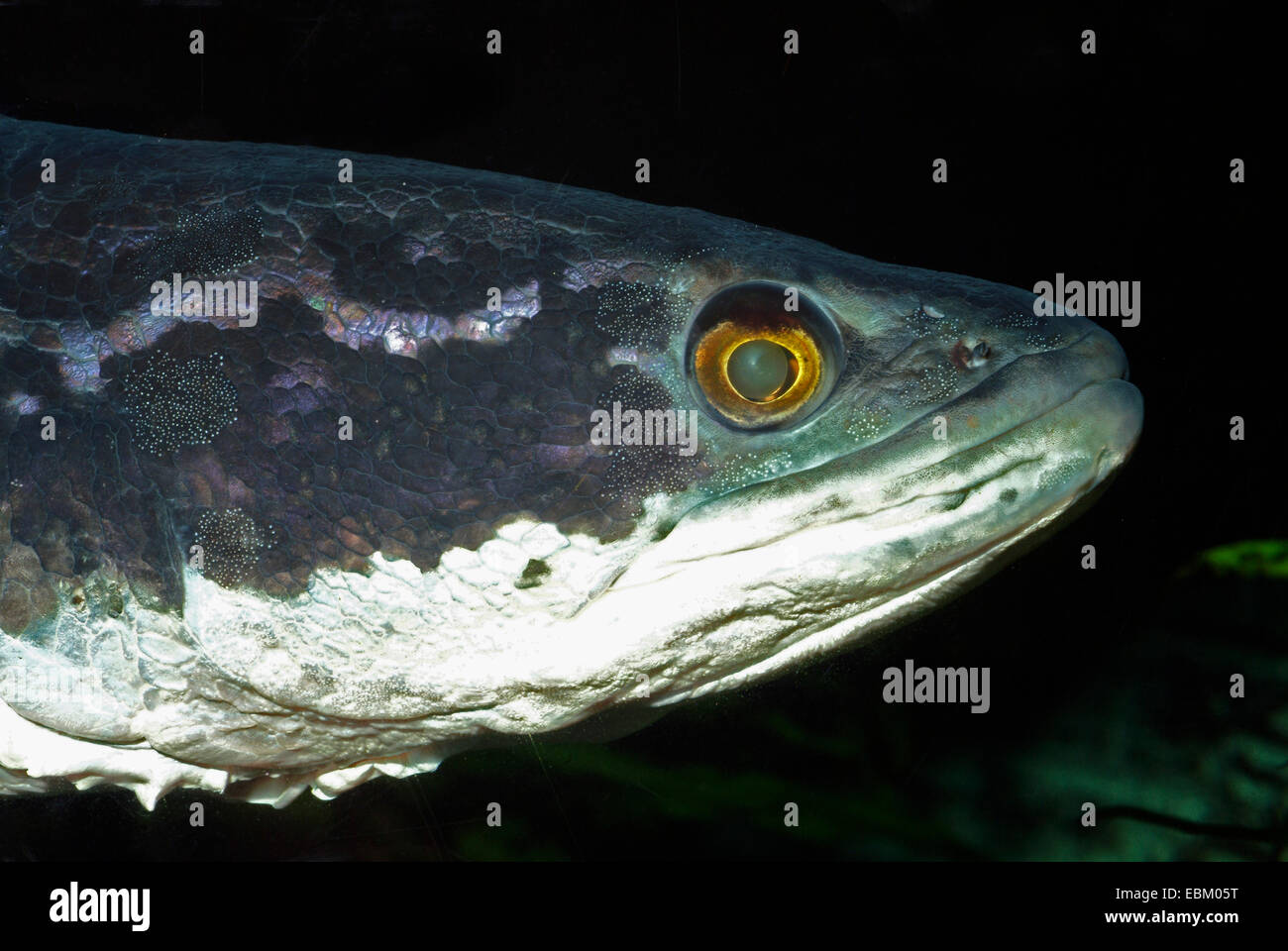 Spotted Snakehead (Channa argus argus), portrait - Stock Image