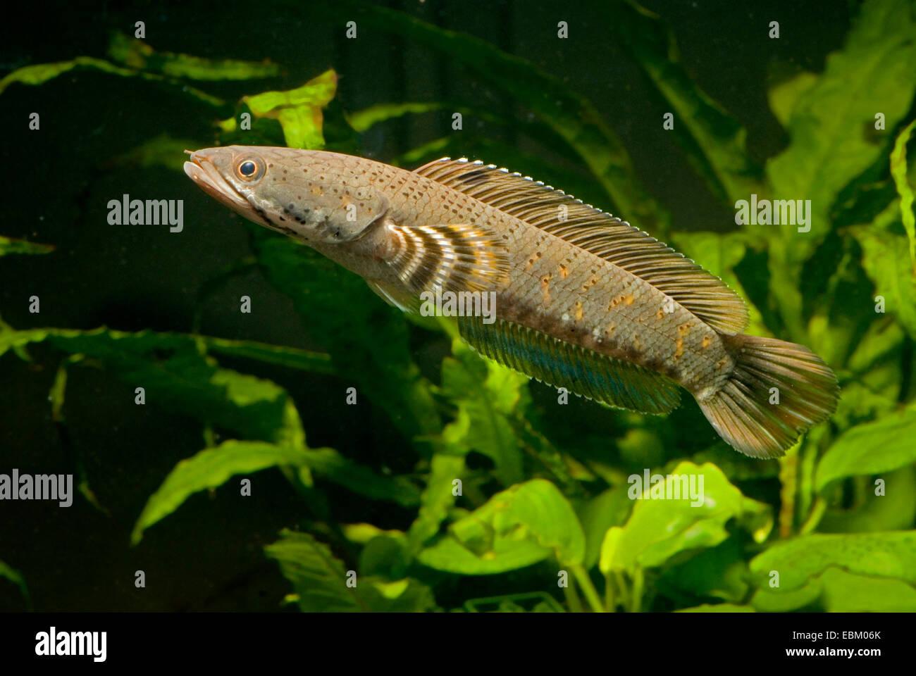 snakehead (Channa pulchra), swimming - Stock Image