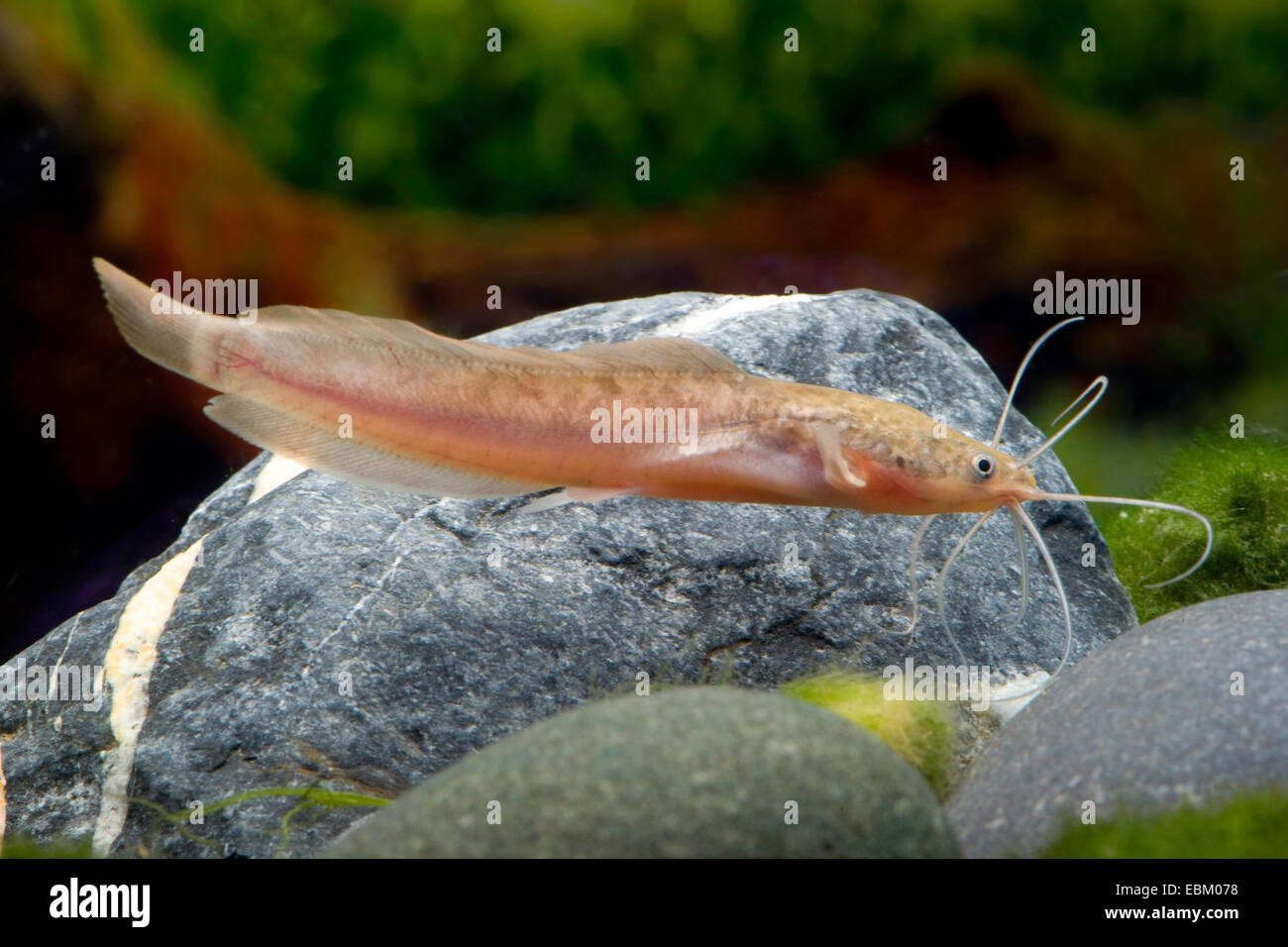 Walking catfish, Broadmouth catfish (Clarias batrachus), swimming - Stock Image