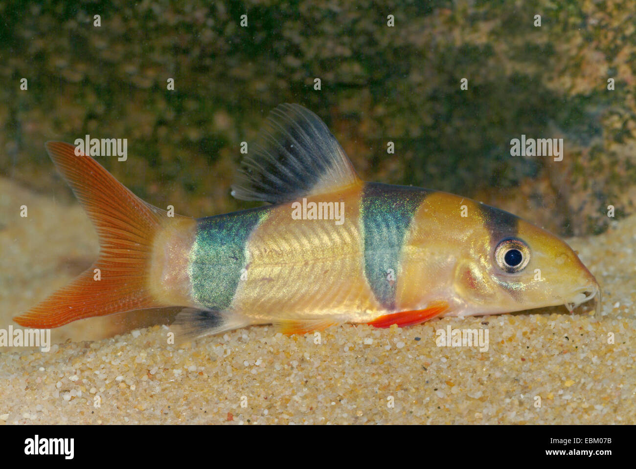 Clown loach (Botia macracantha), on the ground - Stock Image