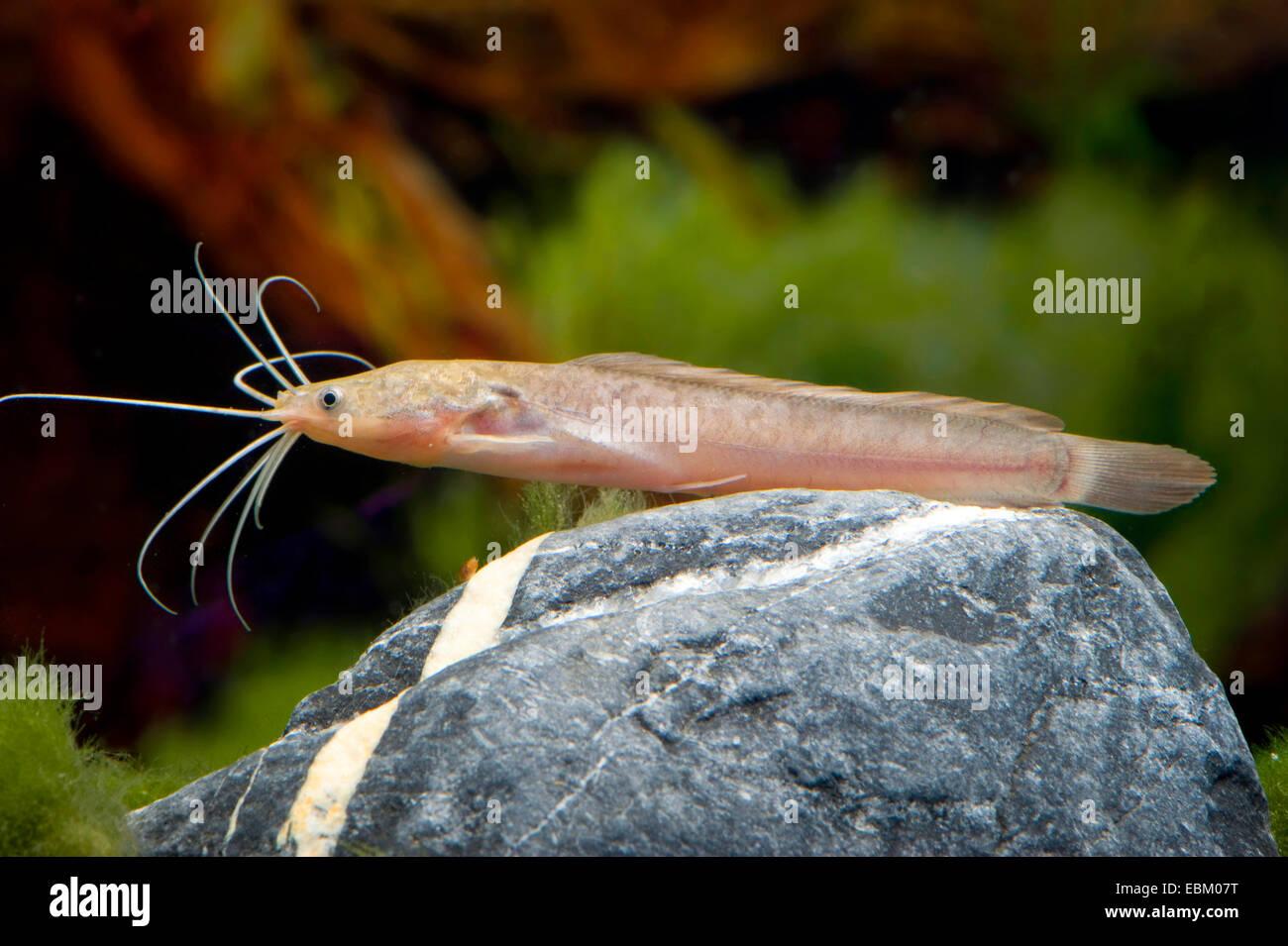 Walking catfish, Broadmouth catfish (Clarias batrachus), swimming - Stock Image