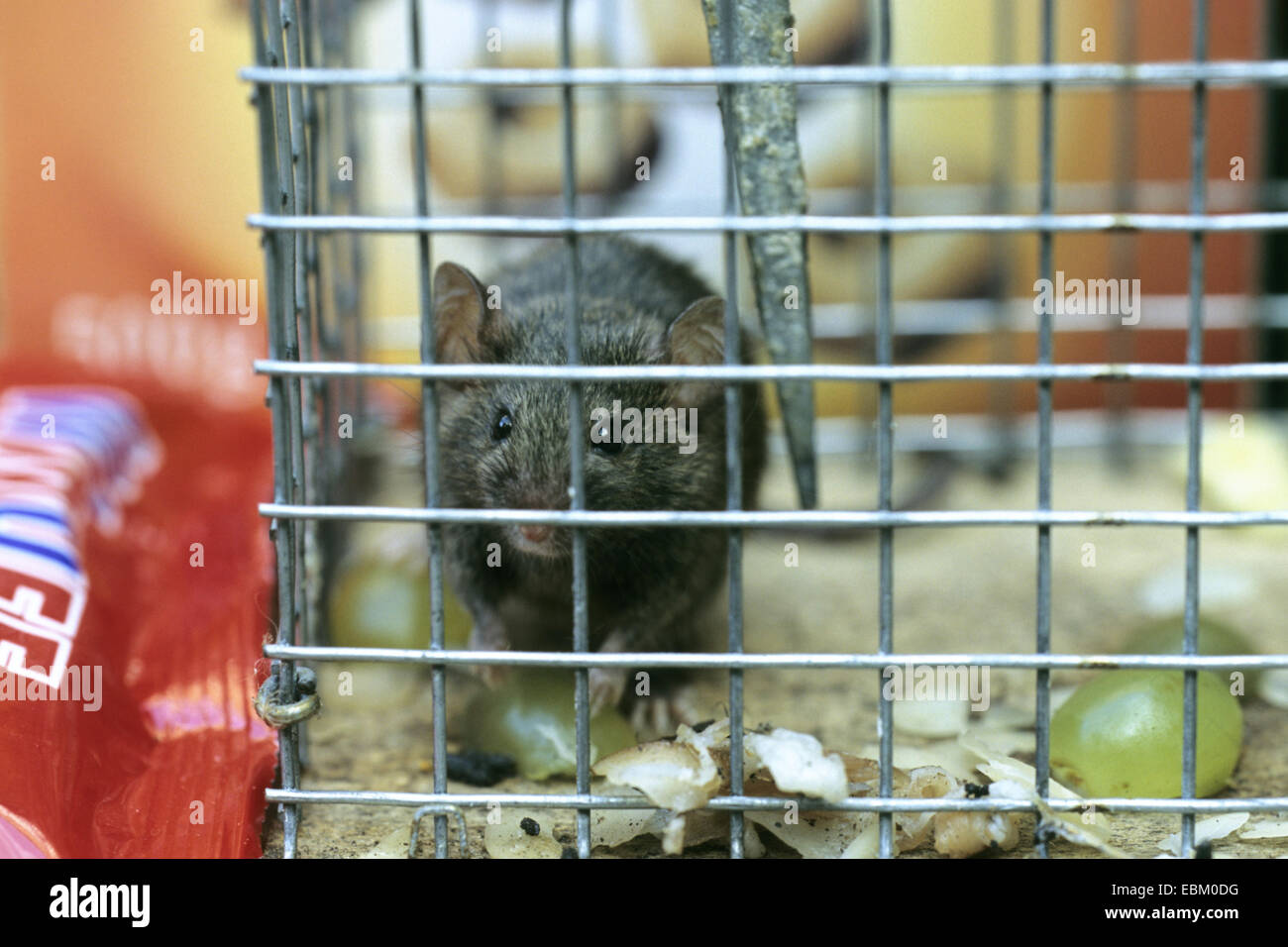 house mouse (Mus musculus), sitting in a live catch trap Stock Photo