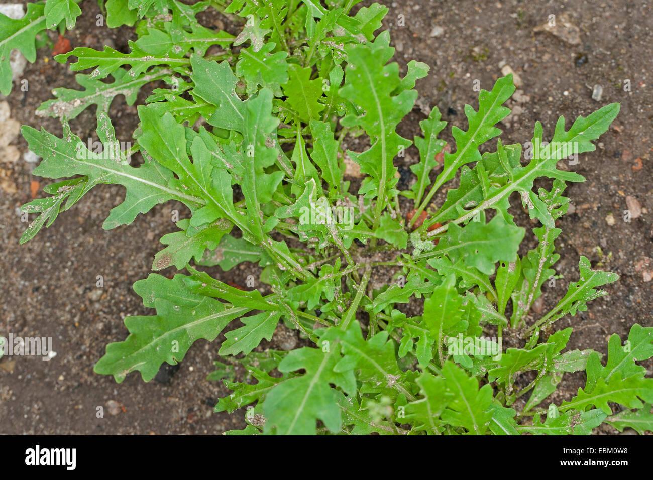 Baby Leaf Wild rocket; perennial wall rocket