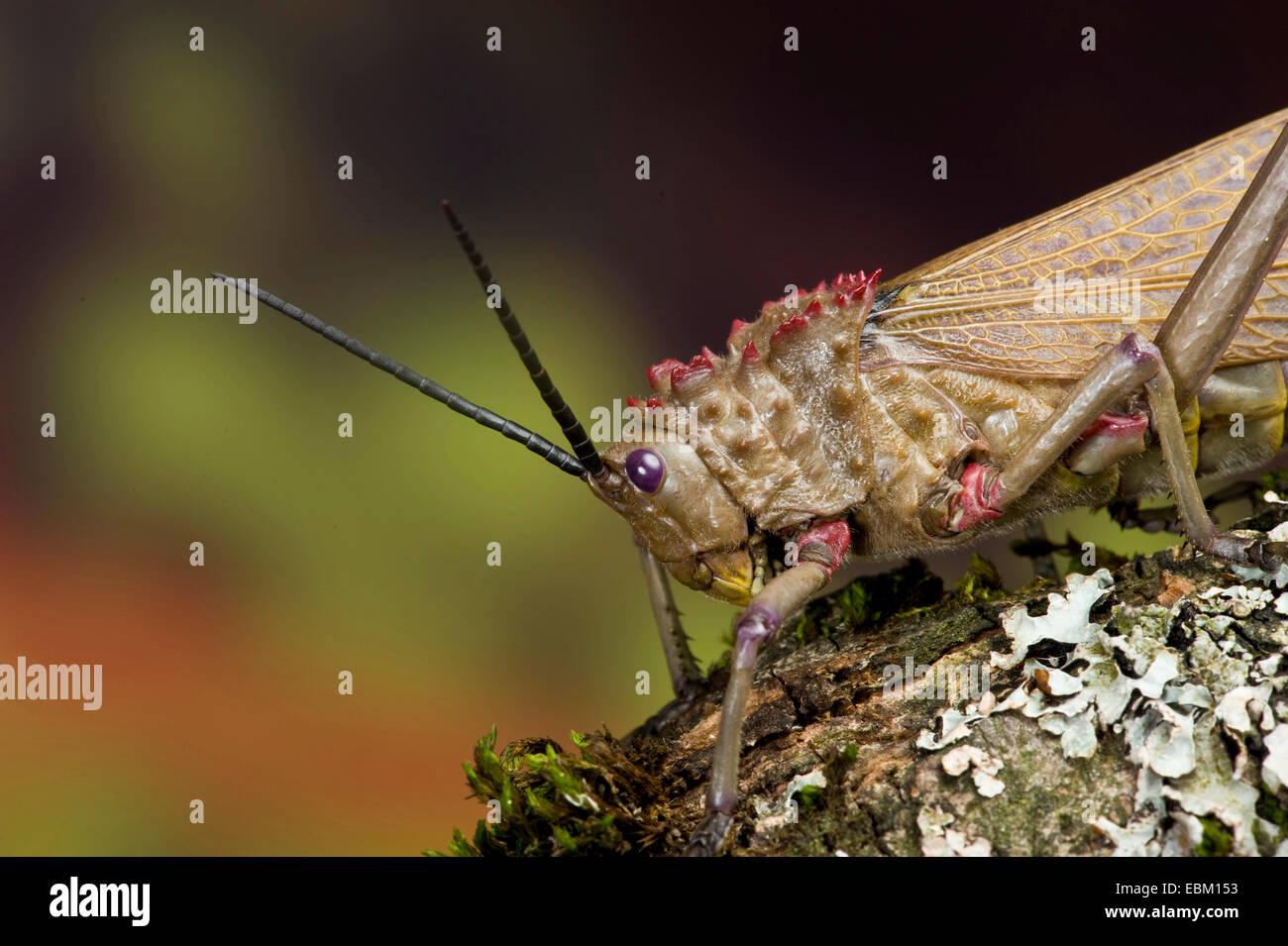 Grasshopper (Phymateus spec.), portrait - Stock Image