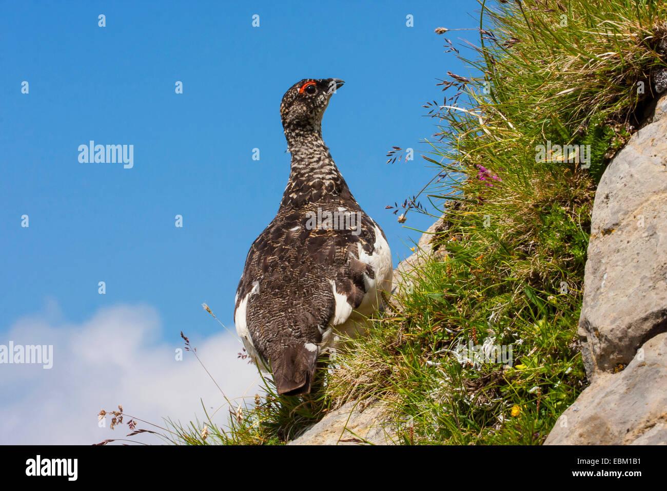 Rock ptarmigan, Snow chicken (Lagopus mutus), Switzerland, Alpstein, Saentis - Stock Image