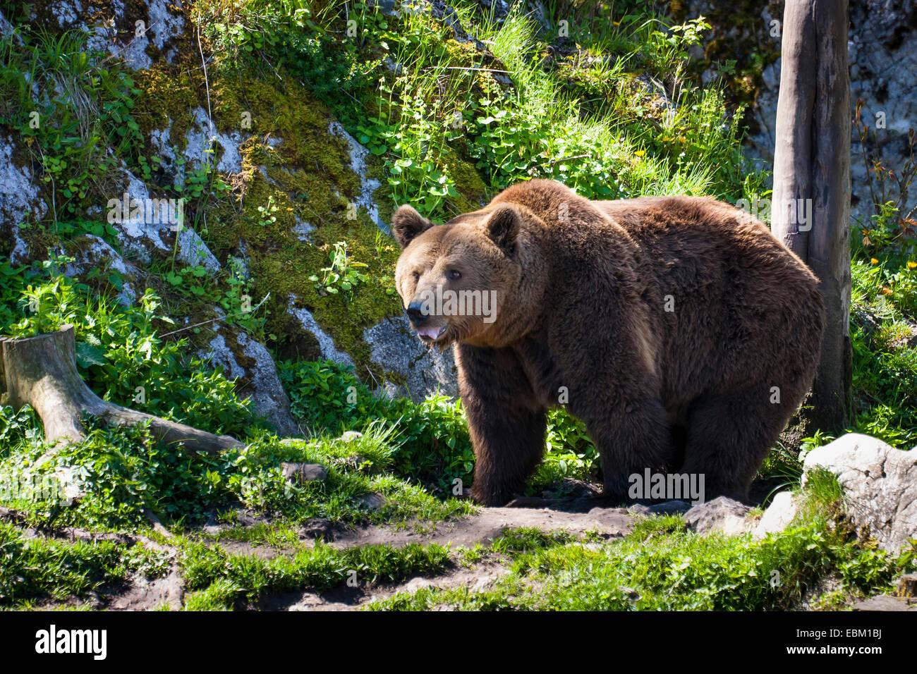 brown bear (Ursus arctos), Switzerland - Stock Image