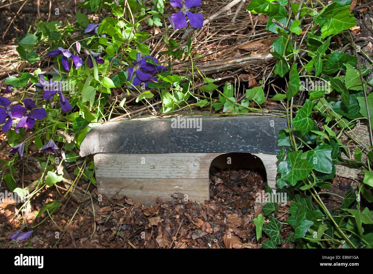 Western hedgehog, European hedgehog (Erinaceus europaeus), shelter for hedgehogs in a natural garden, Germany - Stock Image