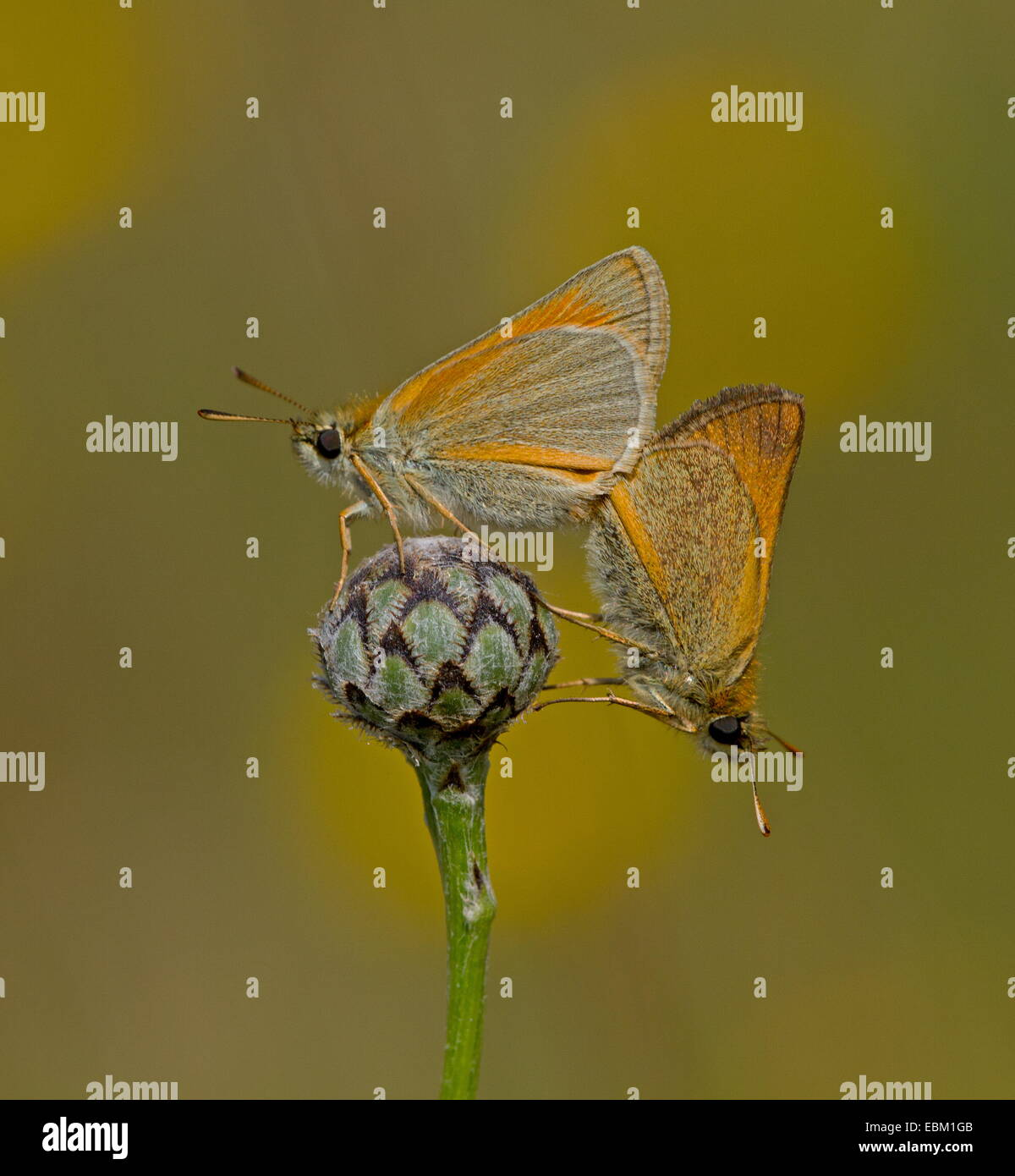 Mating pair of Small Skippers - Stock Image