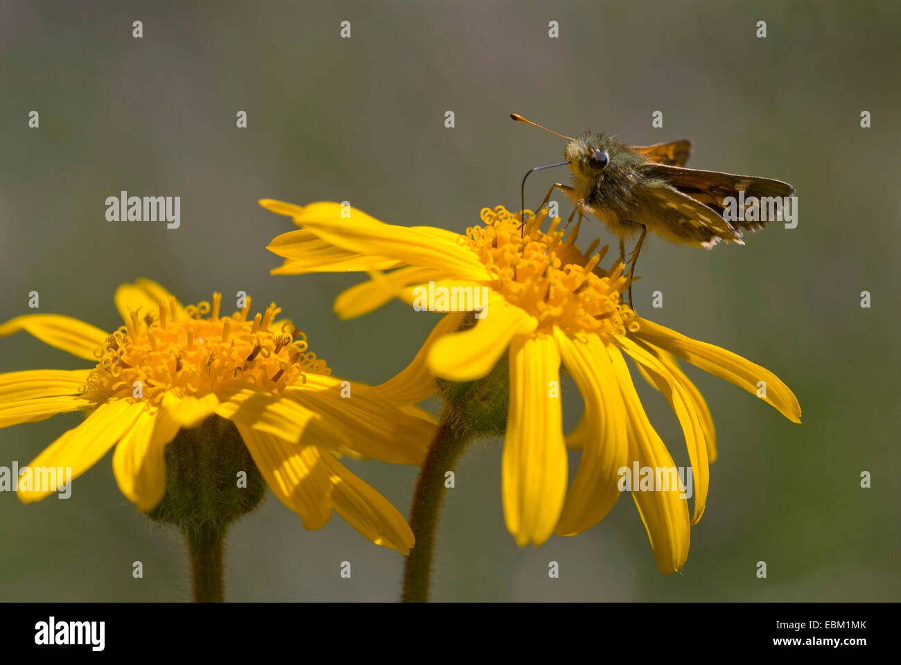 European arnica (Arnica montana), blooming with skipper, Switzerland - Stock Image