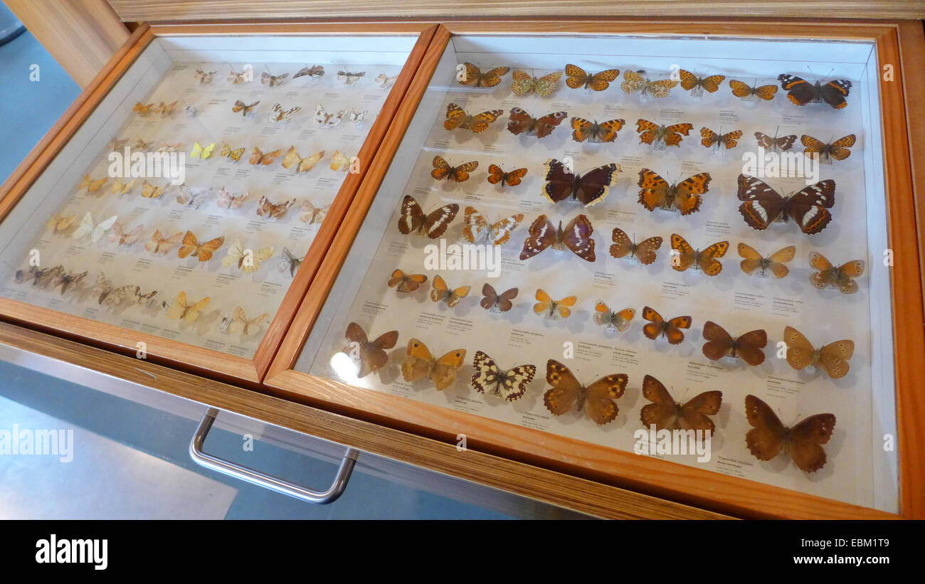 butterfly collection in a showcase in a museum - Stock Image