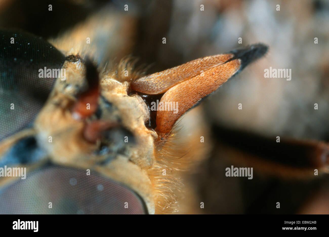 horsefly (Tabanus sudeticus), stinging instrument - Stock Image