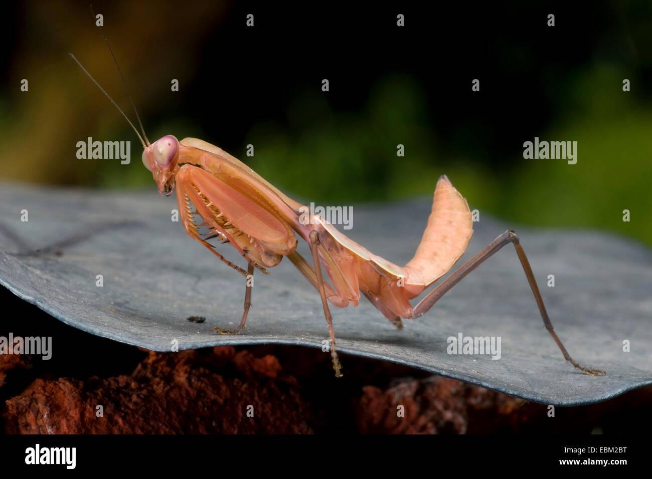 Giant Malaysian shield praying mantis (Rhombodera basalis), full length portrait Stock Photo