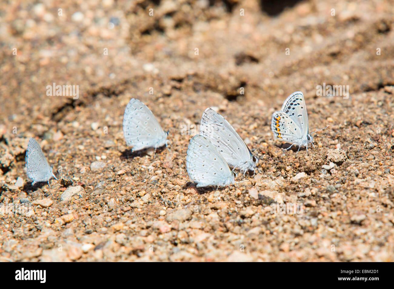 Holly Blue, Holly-Blue (Celastrina argiolus echo, Celestrina argiolus echo, Cyaniris argiolus echo, Lycaena argiolus - Stock Image