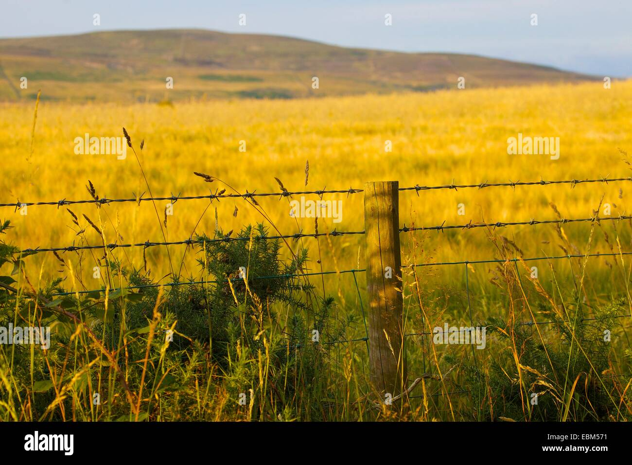 Barbed wire fence in front of barley field. Eden Valley, Cumbria, England, UK. Stock Photo