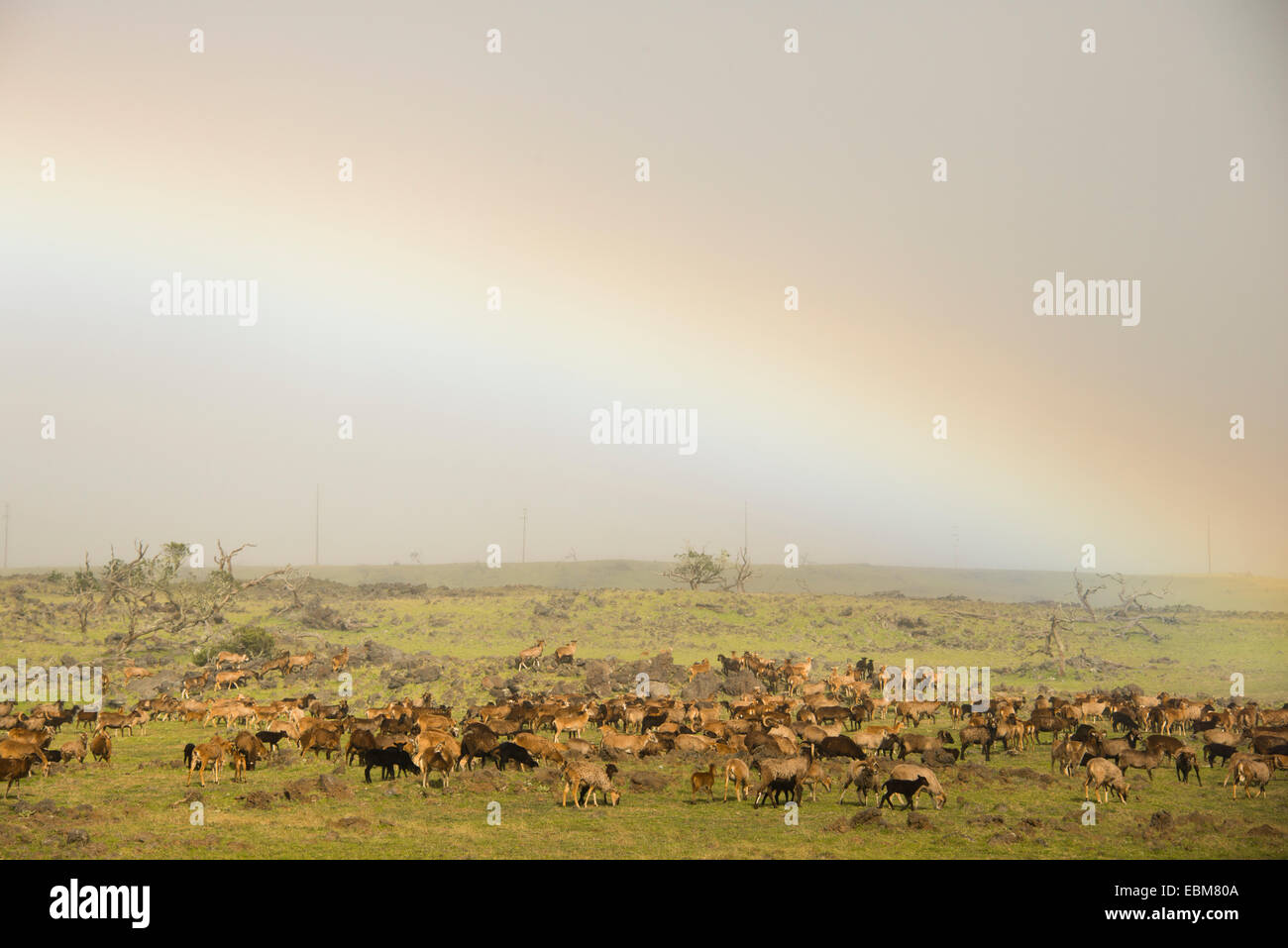 Herd of goats under rainbow in rocky field on ranch in rainy northern Big Island, Hawaii, USA - Stock Image
