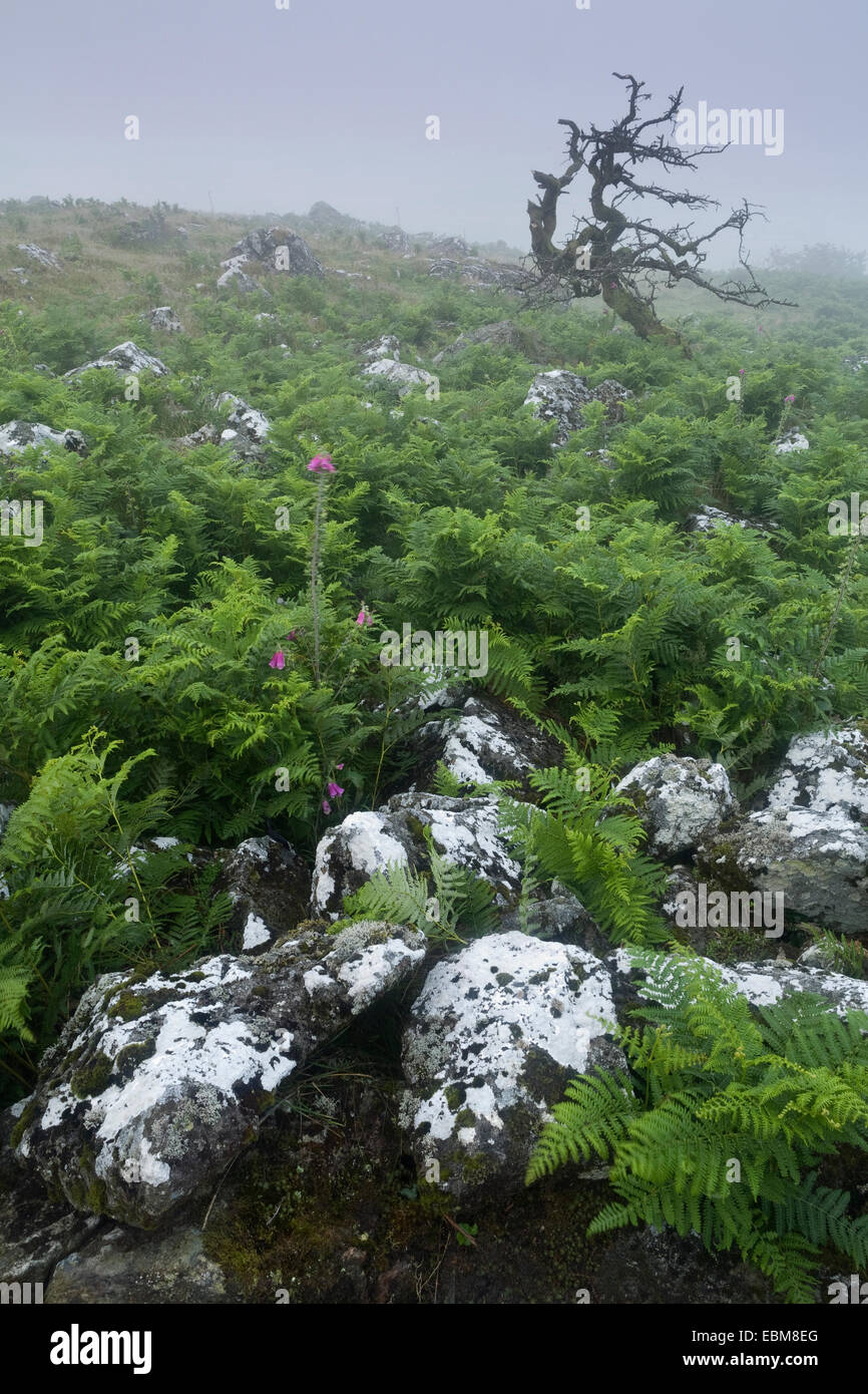 A dead common hawthorn, Crataegus monogyna, and foxgloves are surrounded by bracken on dartmoor on a foggy day. Stock Photo