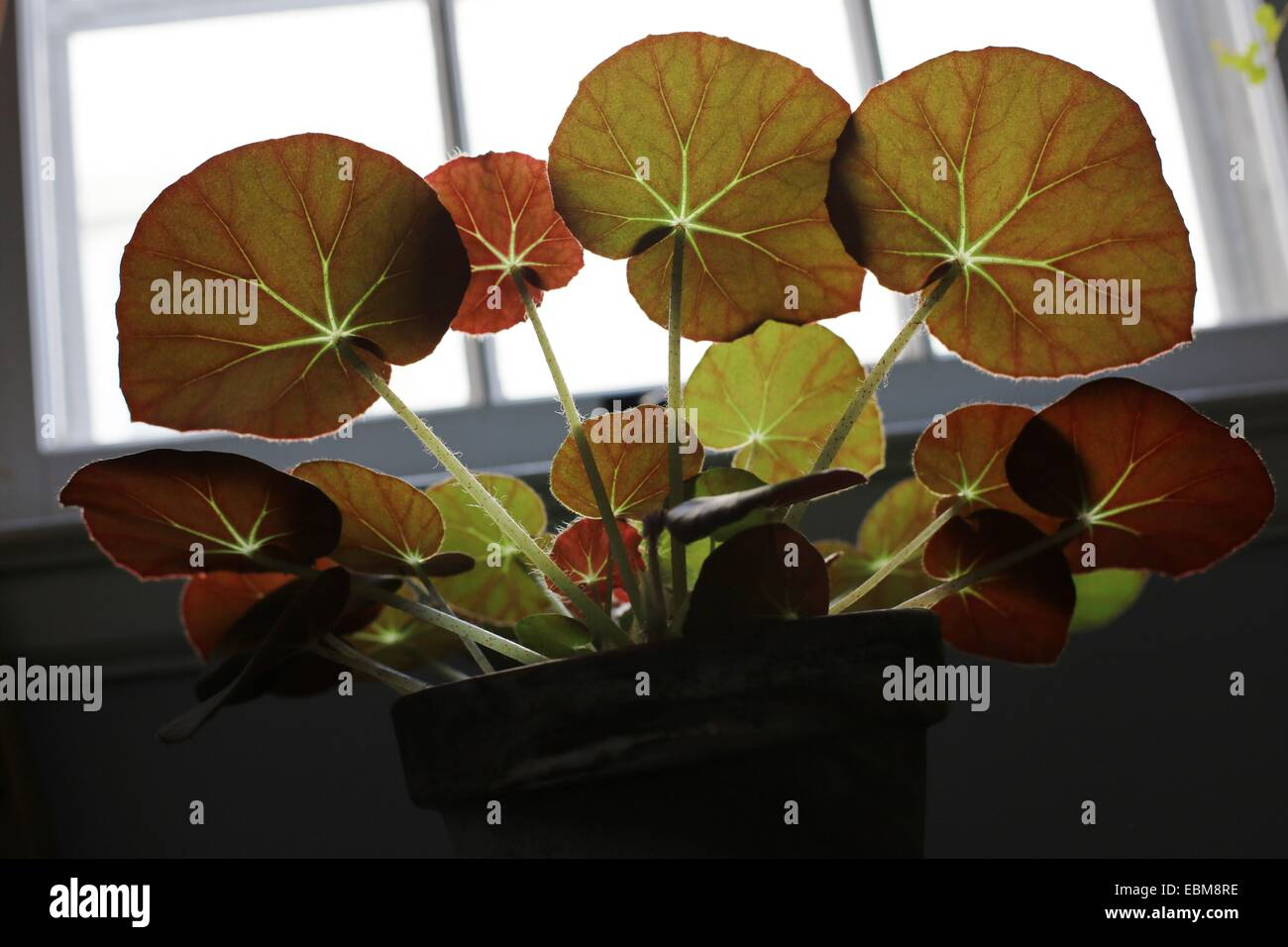 Sun shining through the leaves of a begonia house plant stock photo 76048658 alamy - Begonie zimmerpflanze ...