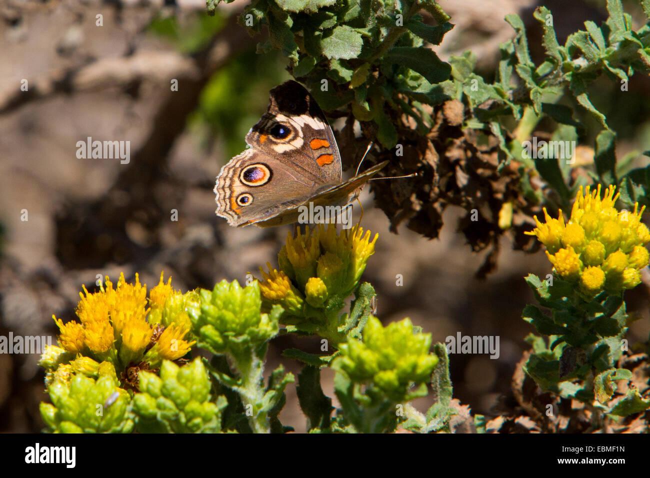 Common Buckeye Butterfly (Junonia coenia) feeding on a yellow flower near beach at San Simeon, California, USA in July Stock Photo