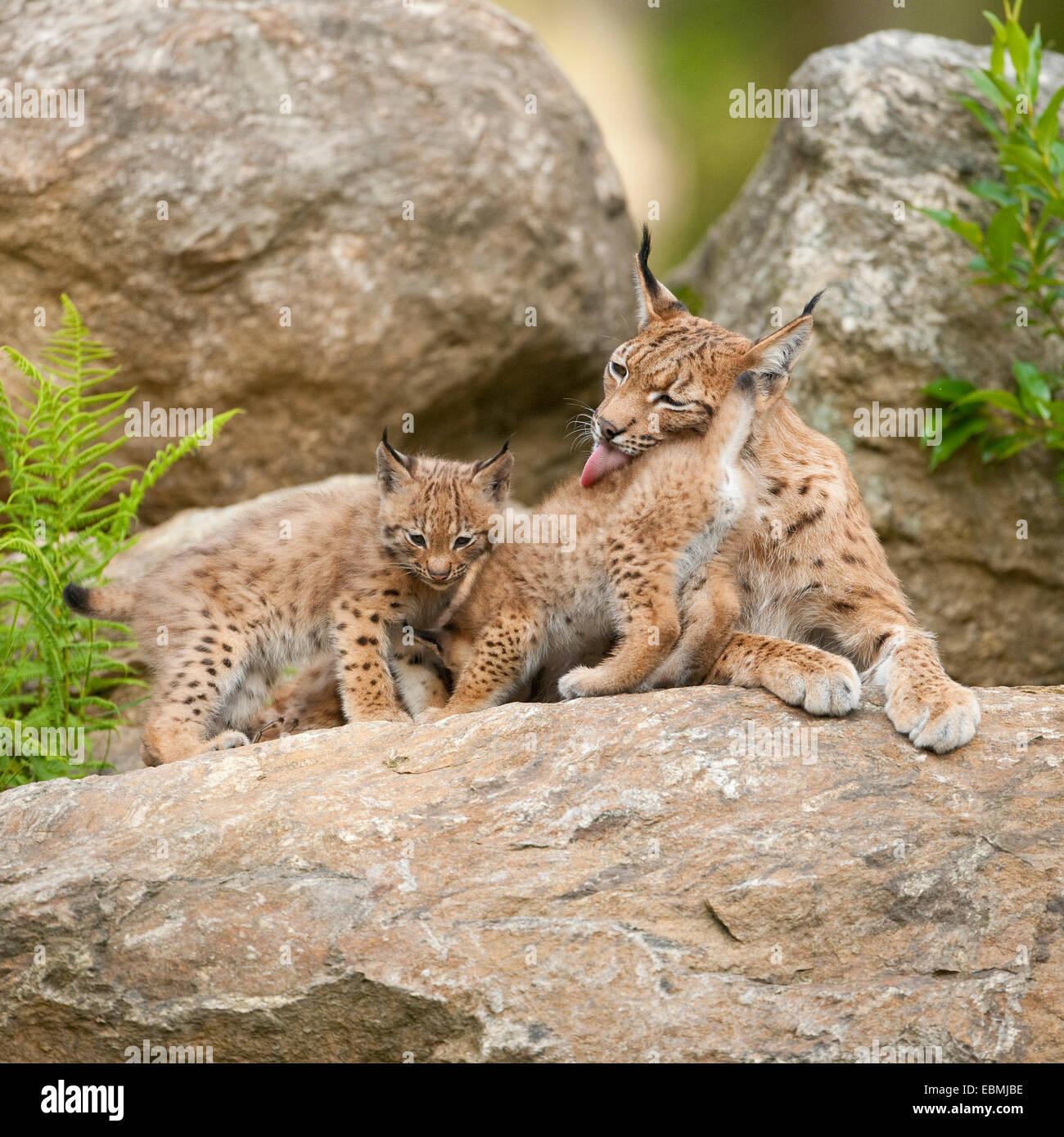 Eurasian Lynx (Lynx lynx), mother and cubs lying on a rock, captive, Bavarian Forest National Park, Bavaria, Germany Stock Photo
