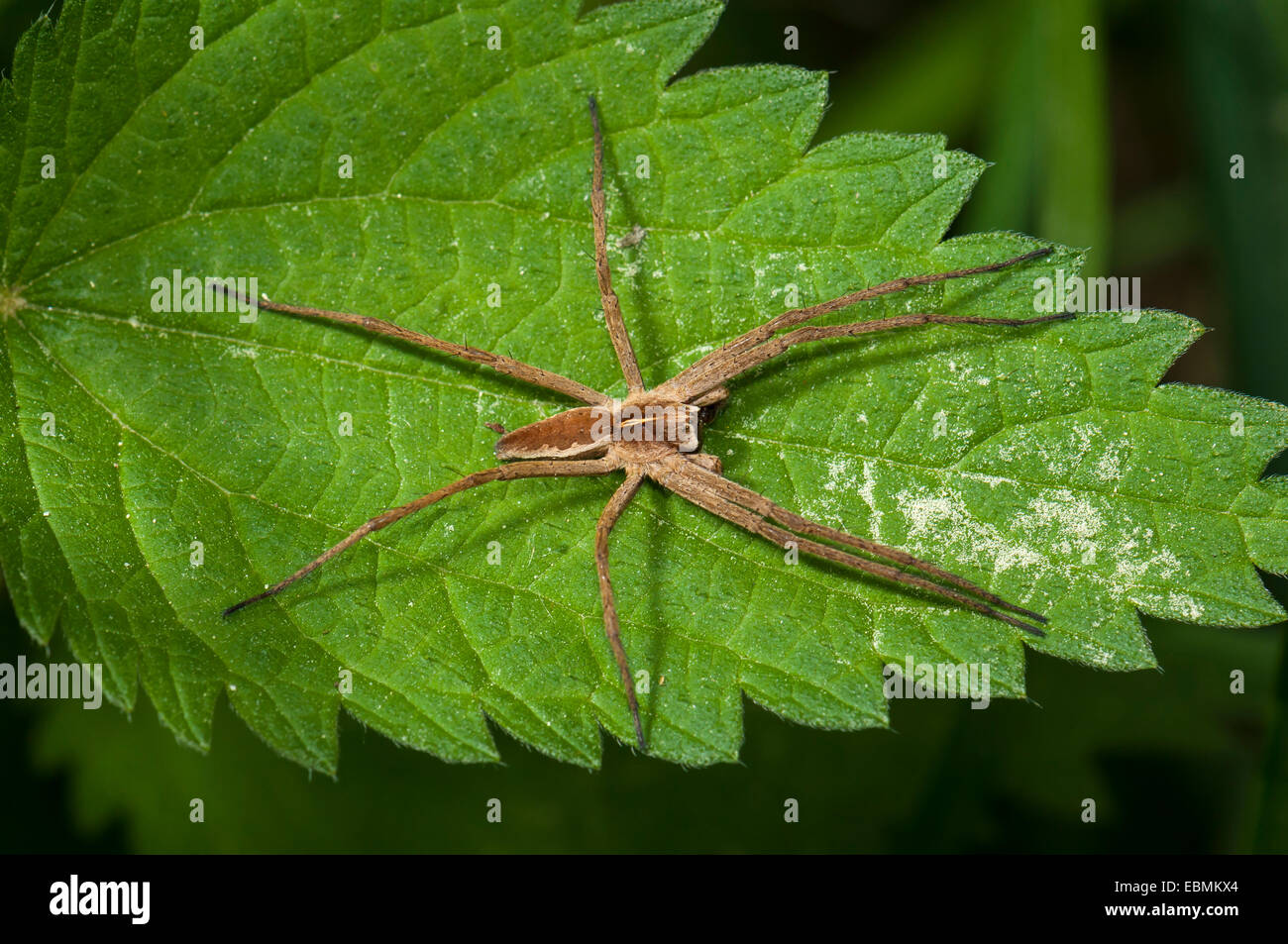 Nursery web spider species (Pisaura mirabilis) on Stinging Nettle (Urtica dioica), Mönchbruch Nature Reserve, - Stock Image