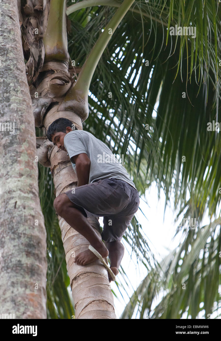 A man climbing a palm tree using traditional method of a rope loop between the ankles - Stock Image