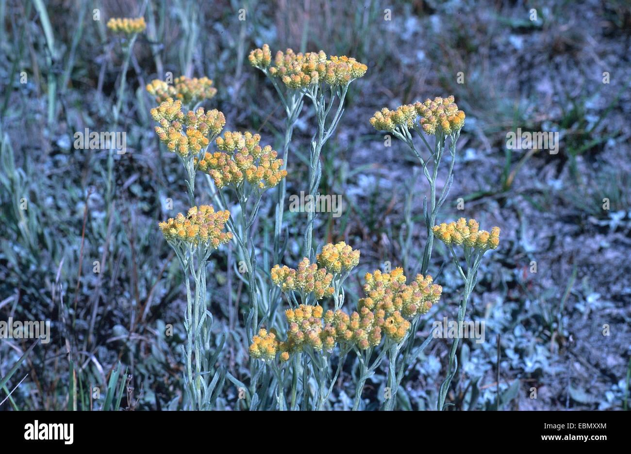 Yellow everlasting daisy everlasting flower dwarf everlasting yellow everlasting daisy everlasting flower dwarf everlasting helichrysum arenarium blooming germany izmirmasajfo